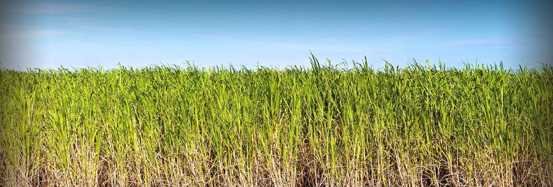 Sugarcane_trivia___interesting_sugar_cane___sugar-related_facts_medium