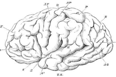 Brain drawing (Wikimedia)
