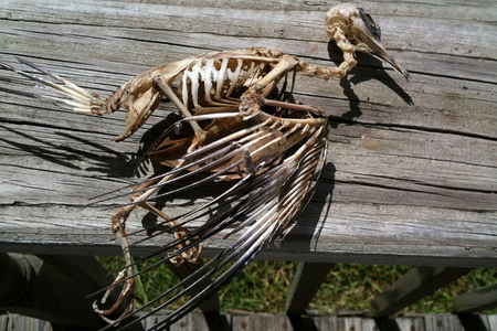 dead bird skeleton