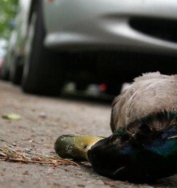 Dead-duck-785958