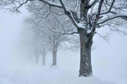 Trees_snow_fog_sk