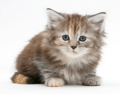 12-maine-coon-kitten-mark-taylor