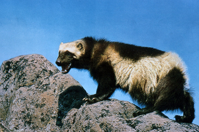 Wolverine_on_rock