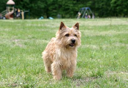 Norwich_terrier