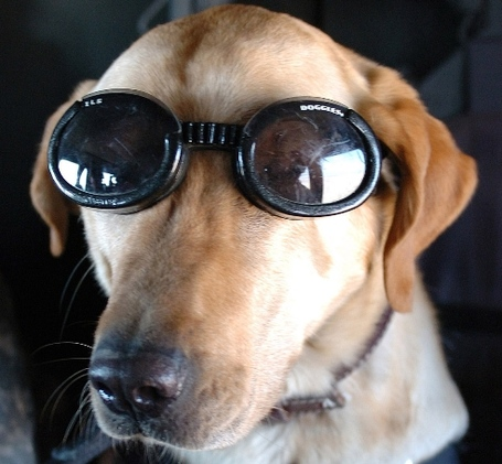 Dog-goggles_medium