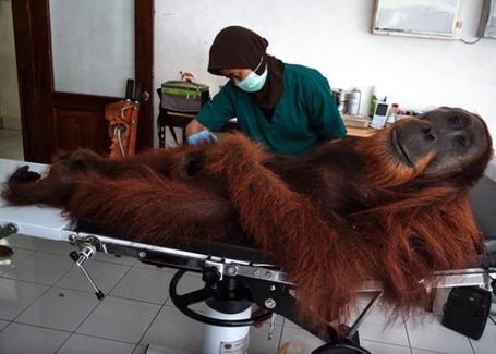 140417_wild_orangutan