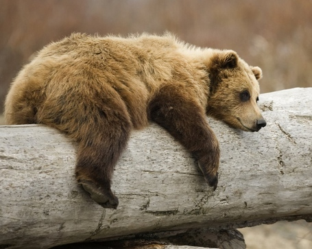 Bear-on-a-log_medium