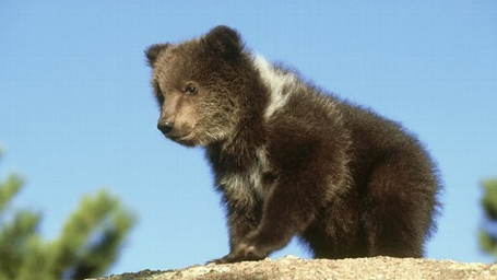 Gty_grizzly_bear_wy2_130116_wblog_medium