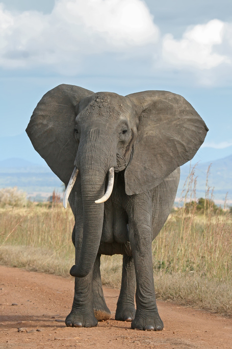 African_bush_elephant_medium