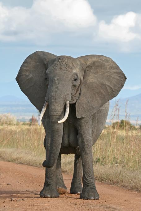 African_bush_elephant_medium