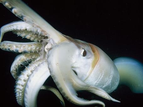 Giant-squid-close-up-skerry_18435_990x742_medium