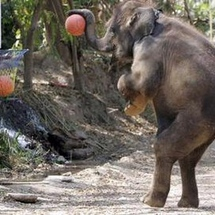 Funny_elephant_playing_basketball