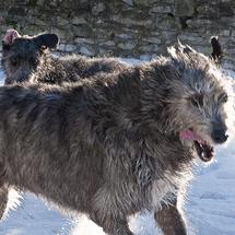 Irish_wolfhound