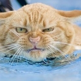 Cat_in_water_and_not_enjoying_it