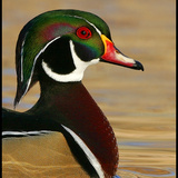 Nm_woodduck06