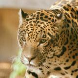 Jaguar001