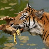 Tiger_eats_chicken