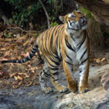 180px-tiger_bandavgarh_adjusted_levels