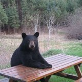 Picnic-table-bear