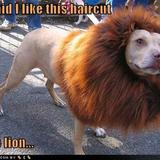 182463375_funny_dog_pictures_lion_haircut_dog_answer_2_xlarge