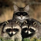 Cat_coons