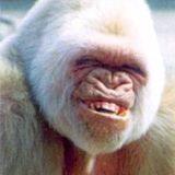 Smiling_gorilla