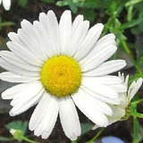 White-daisy2-image.jpg.pagespeed.ce.l_9awgi0e-