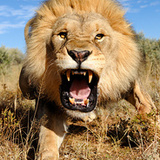 Lion_pic