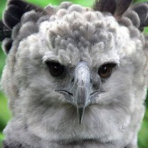 91025_harpy-eagle-photos-06