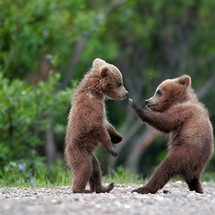 Funny_bear_s_fight