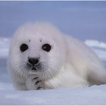 Harper_seal