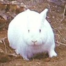 Bunny_rabid