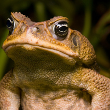 20080716_cane_toad