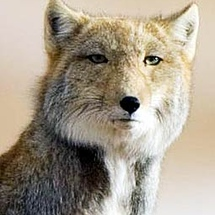 Tibetan-fox-square-head
