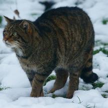 Wildcat_at_british_wildlife_centre