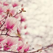 Magnolias_1680x1050