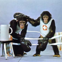 Swiss-box-chimp