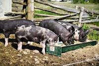 berkshire-pigs-200.jpg