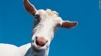 t1larg.goat.head.jpg