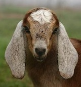 goat.jpg