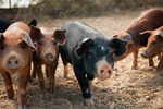 pigs-150.jpg