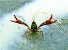 crawfish150.jpeg