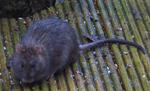 rats-dc-14th.jpg