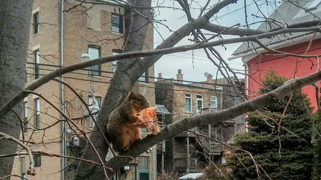 Meet Chicago's Pizza Squirrel, the Hero This City Deserves