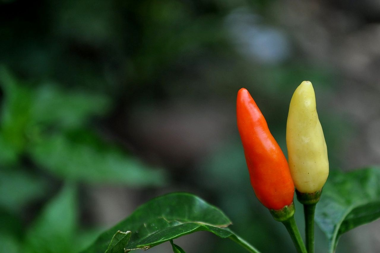Wilbur Scoville invented the way we measure hot peppers spiciness