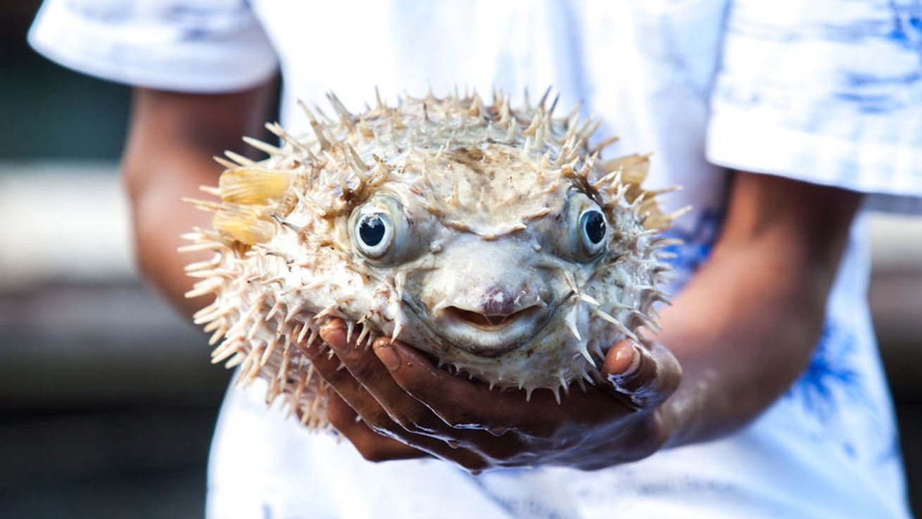 Five men hospitalized after eating poisonous fugu eater for Japanese puffer fish
