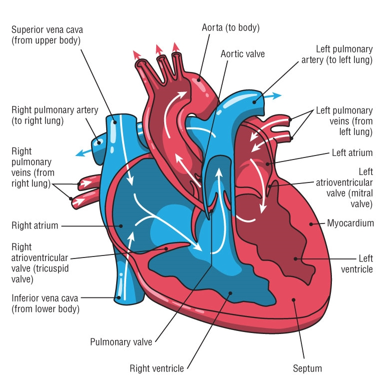 the haywire heart, by chris case, john mandrola and ... live heart diagram weak heart diagram